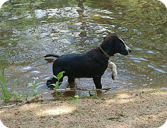 Great Pyrenees/Labrador Retriever Mix Puppy for adoption in Croydon, New Hampshire - Pandora - Adopted!