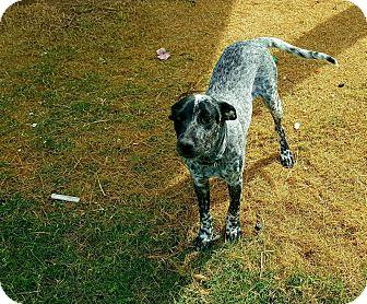 Cattle Dog Mix Dog for adoption in Mesa, Arizona - Luna