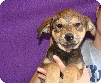 Australian Shepherd/Labrador Retriever Mix Puppy for adoption in Oviedo, Florida - Vixen
