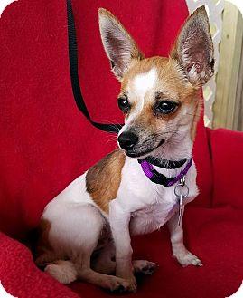 Chihuahua Mix Dog for adoption in Hamilton, Ontario - Egypt