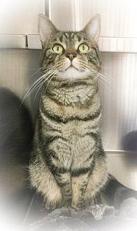 Domestic Shorthair Cat for adoption in Webster, Massachusetts - Mila