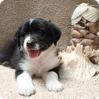 Adopt A Pet :: Scott - Salem, NH