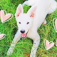 Adopt A Pet :: GAGA - Diva! - Chandler, AZ