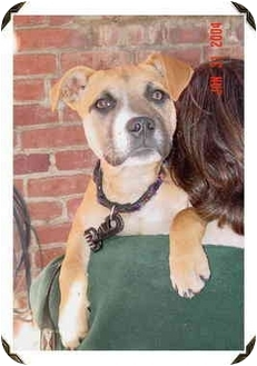 Boxer Mix Puppy for adoption in Rolling Hills Estates, California - Roxie