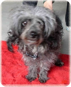 Poodle (Miniature) Dog for adoption in Howell, Michigan - Coco