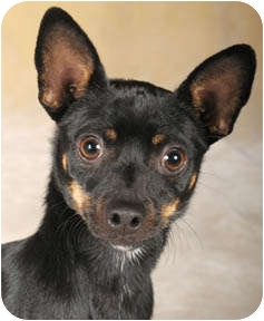Chihuahua/Dachshund Mix Dog for adoption in Chicago, Illinois - Oreo