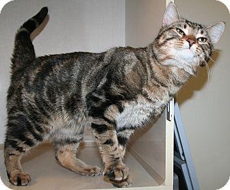 Domestic Shorthair Cat for adoption in Edmonton, Alberta - Sampson
