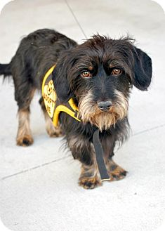Schnauzer (Miniature)/Terrier (Unknown Type, Medium) Mix Puppy for adoption in Baton Rouge, Louisiana - Lil Albert