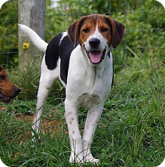 Coonhound/Labrador Retriever Mix Puppy for adoption in Windham, New Hampshire - Henry
