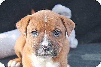 Boxer Mix Puppy for adoption in Marion, North Carolina - Mojo
