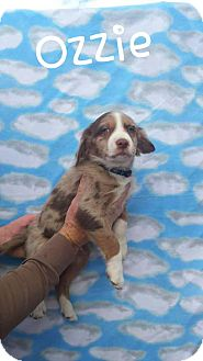 Australian Shepherd/Brittany Mix Puppy for adoption in Salina, Utah - Ozzie