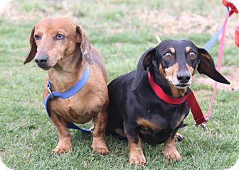 Dachshund Dog for adoption in Orland Park, Illinois - Shotzie