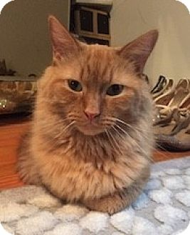 Domestic Longhair Cat for adoption in Long Beach, New York - Mitsy