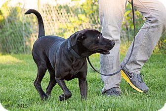 Labrador Retriever Mix Dog for adoption in Naperville, Illinois - Meeko
