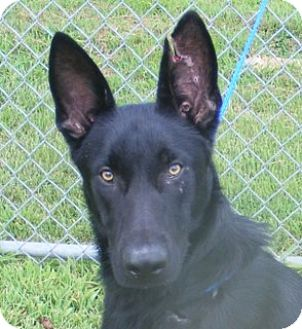 Shepherd (Unknown Type) Mix Dog for adoption in Olive Branch, Mississippi - Hondo