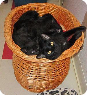 Domestic Shorthair Cat for adoption in Seminole, Florida - Mariah