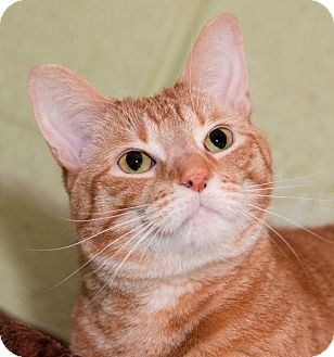 Domestic Shorthair Cat for adoption in Seville, Ohio - Ducky-FEE WAIVED LIMITED TIME