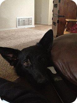 German Shepherd Dog Dog for adoption in Roswell, Georgia - Bradie (Guest)
