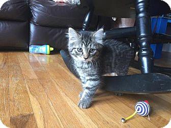 Domestic Shorthair Kitten for adoption in Nesquehoning, Pennsylvania - Turtle