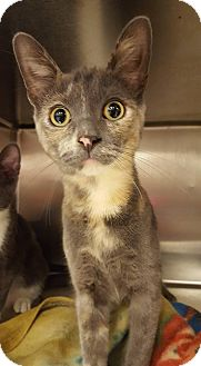 Domestic Shorthair Kitten for adoption in Bensalem, Pennsylvania - Kailani