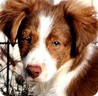 King Charles Spaniel/Dachshund Mix Puppy for adoption in Wakefield, Rhode Island - QUIGLEY(SWEET SWEET PUPPY!!!