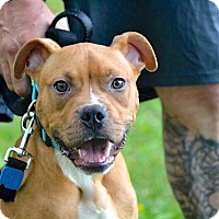 Adopt A Pet :: Scooby - Reisterstown, MD