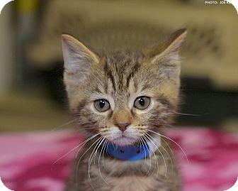 Domestic Shorthair Kitten for adoption in Medina, Ohio - Marvin