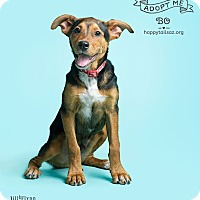 Rottweiler/Hound (Unknown Type) Mix Dog for adoption in Chandler, Arizona - Bo