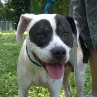 Adopt A Pet :: Spots - Terre Haute, IN