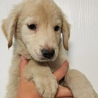 Adopt A Pet :: Marshall - House Springs, MO