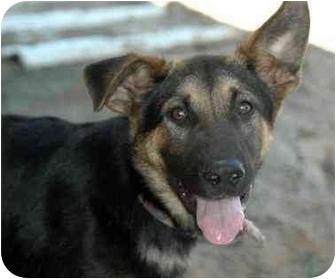 German Shepherd Dog Mix Puppy for adoption in Atkins, Arkansas - AGGIE