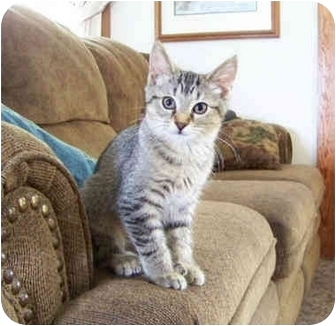 Polydactyl/Hemingway Kitten for adoption in Brighton, Michigan - Josey