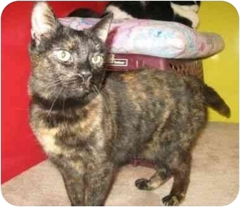 Domestic Shorthair Cat for adoption in Powell, Ohio - Cricket