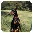 Photo 2 - Doberman Pinscher Mix Dog for adoption in Hammonton, New Jersey - Daisey