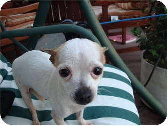Chihuahua Dog for adoption in San Diego, California - Fred