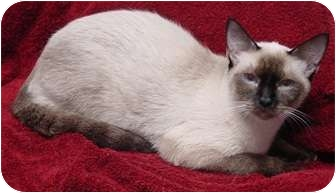 Siamese Cat for adoption in Franklin, North Carolina - Brea