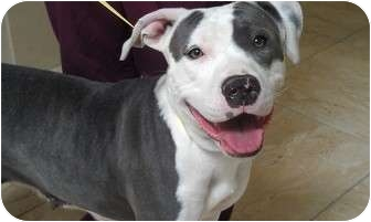 American Staffordshire Terrier/American Pit Bull Terrier Mix Dog for adoption in Studio City, California - DELILAH