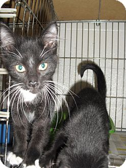 Domestic Shorthair Cat for adoption in Granbury, Texas - Frosty