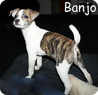 Chihuahua Mix Puppy for adoption in New Jersey, New Jersey - Bricktown NJ - Banjo