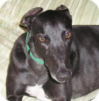Greyhound Dog for adoption in Tucson, Arizona - Taylor