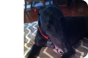 Greyhound Dog for adoption in Pearl River, Louisiana - Bob