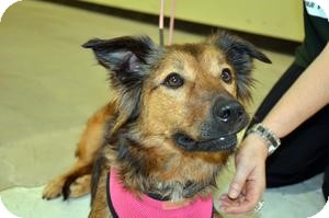 Collie/Shepherd (Unknown Type) Mix Dog for adoption in Kingwood, Texas - Greta