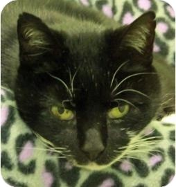 Domestic Shorthair Cat for adoption in Ithaca, New York - Sasha