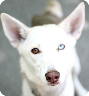 Siberian Husky Mix Dog for adoption in Adrian, Michigan - Sandy