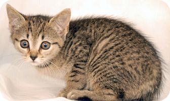 Domestic Shorthair Kitten for adoption in Newland, North Carolina - Countess