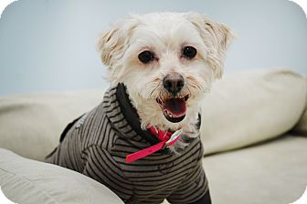 Maltese/Terrier (Unknown Type, Small) Mix Dog for adoption in Brooklyn, New York - Bella