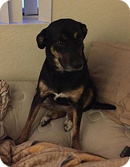 Rottweiler/German Shepherd Dog Mix Dog for adoption in Las Vegas, Nevada - Diamond