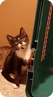 Domestic Shorthair Cat for adoption in East Brunswick, New Jersey - Spot