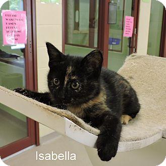 Domestic Shorthair Kitten for adoption in Slidell, Louisiana - Isabella
