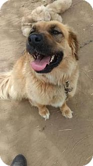 Golden Retriever/Chow Chow Mix Dog for adoption in Warsaw, Indiana - Holly